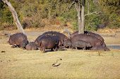 Hippo family (Hippopotamus amphibius) with oxpecker birds, Sabie-Sand nature reserve, South Africa