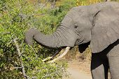 African elephant (Loxodonta africana) feeding on tree branches, Sabie-Sand nature reserve, South Africa