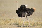 Male Ostrich (Struthio camelus), Kalahari desert,South Africa