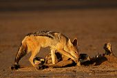 A black-backed Jackal (Canis mesomelas)  scavenging on a carcass, Kalahari desert, South Africa