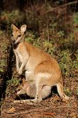 Female Agile Wallaby (Macropus agilis) with baby in pouch, Kakadu National Park, Northern territory, Australia