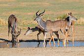 Kudu antelopes (Tragelaphus strepsiceros) at a waterhole, Kalahari desert, South Africa