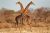 Two giraffe bulls (Giraffa camelopardalis), Etosha National Park, Namibia, southern Africa