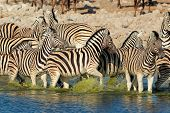 Plains (Burchells) Zebras (Equus burchelli) walking in water, Etosha National Park, Namibia