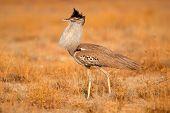 Kori bustard (Ardeotis kori), Etosha National Park, Namibia