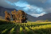 Landscape of a lush vineyard with trees against a backdrop of mountains, Western Cape, South Africa