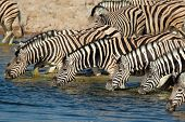 Plains (Burchells) Zebras (Equus burchelli) drinking water, Etosha National Park, Namibia