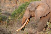 African bull elephant (Loxodonta africana) with large tusks, Sabie-Sand nature reserve, South Africa