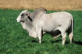 Large white Brahman bull on green pasture