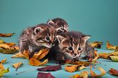 Group Of Small  Kittens In Autumn Leaves