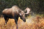 Moose Bull blowing steam, Male, Alaska, USA
