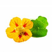 foto of nasturtium  - Nasturtium or Tropaeolum flower isolated on white background - JPG