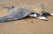 Manta Ray On The Sea Shore