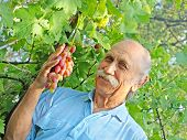 Elderly Happy Man Holds A Ripe Grape.