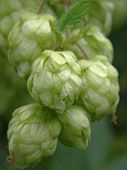 picture of bine  - Ripe green hop cones taken closeup - JPG