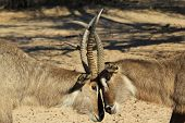 Waterbuck - Wildlife Background from Africa - Fighting Bulls