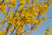 Close up of forsythia bush in blossom