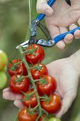 Harvesting tomatoes with blue scissors