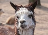 stock photo of lamas  - cute lama animal closeup portrait in profile - JPG