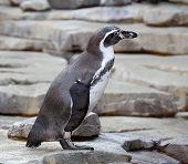 Small Penguin