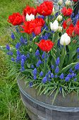 Red And White Tulips In Planter