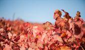 Vineyard leaf in autumn season