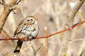 ������, ������: Song Sparrow