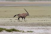Lonely Oryx In The Etosha Pan Salt Desert