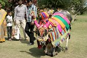 Musicians take around decorated bull during hindu festival pongal hindu festival