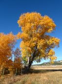 Cottonwood tree turning gold in autumn against blue sky.