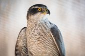 image of hawk  - Brown hawk looking into the distance in zoo - JPG