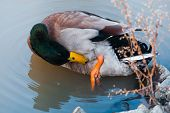 foto of male mallard  - Male mallard swimming in lake at zoo
