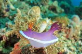 Nudibranch Sea Slug - Hypselodoris apolegma