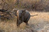 Baby elephant charging