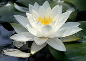 pic of water lily  - water lily up close - JPG