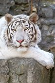 stock photo of albinos  - Rare tiger albino in the open - JPG