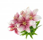 Tiger lillies isolated on white