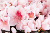 Blossoming azalea