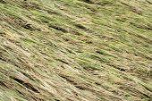 Ripe paddy crop