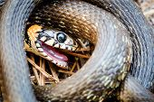 foto of snake-head  - Grass Snake (Natrix natrix) adder head raising defensiveness in forest early spring