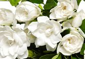 stock photo of gardenia  - bouquet gardenia plant - JPG