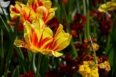Red And Yellow-striped Monsella Tulips