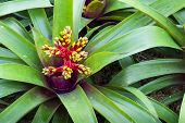 stock photo of bromeliad  - Red and yellow blooming bromeliad plants in nature background