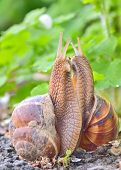 pic of hermaphrodite  - love snails in spring time - JPG