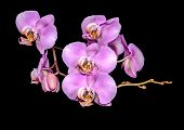 Beautiful Gentle Lilac Branch Orchid, Phalaenopsis On Black Background