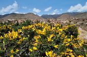 picture of shan  - Yellow acacia on a background of mountains of Tien Shan - JPG