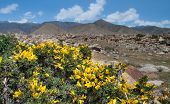 stock photo of shan  - Yellow acacia on a background of mountains of Tien Shan - JPG