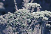 Dill Flower Umbels Background