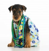 cute airedale terrier puppy wearing dress and necklace on white background