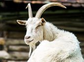 Portrait Of Farm Goat
